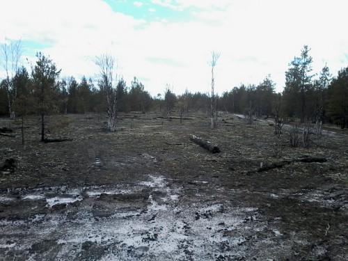 На фото видно песчаный грунт в лесу на горельнике