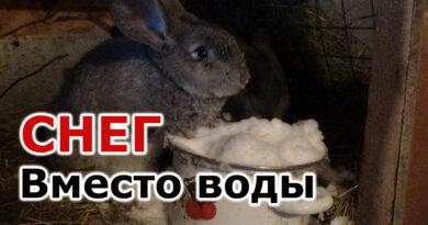 Перевёл кроликов на снег