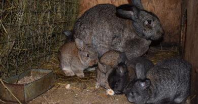 Забавные крольчата